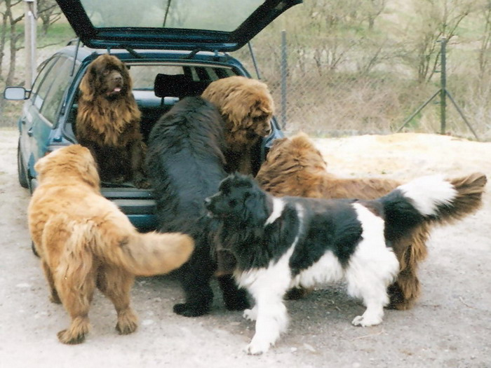Home For Newfoundland Dogs